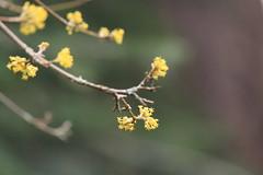 IMG_4778 (TMM Cotter) Tags: tree spring flowers bloom beacon hill park victoria bc cornelian cherry dogwood cornus mas