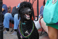 Standard Poodle (beezy.cat) Tags: new orleans nola mardi gras mardigras barkus parade parades secondline poodle colorful dog dogs