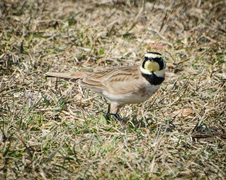 My first-ever sighting of a flock of Horned Larks