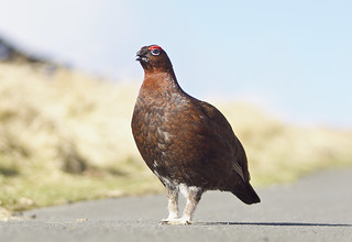 Red Grouse #EarlySpringSigns
