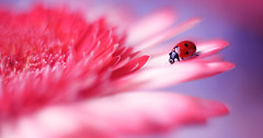 Gerbera 🐞 (ElenAndreeva) Tags: red spring color blue sun light summer bokeh beautiful closeup cute colors insect canon garden top soft dream composition sweet focus bug best amazing nature photograph macro flower gerbera ledybug reds pink popular naturephoto