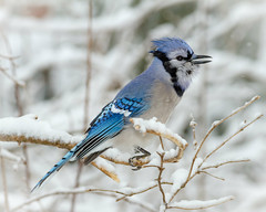 Blue Jay in the snow (tresed47) Tags: 2017 201702feb 20170209chestercountymisc birds bluejay canon7d chestercounty content folder home pennsylvania peterscamera petersphotos places takenby us ngc npc