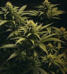 Cannabis (ganjatographer) Tags: cannabis weed marijuana pot stoner grow legalization indica sativa 420 dank chronic medical