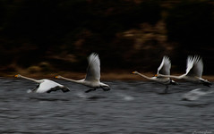 Swan take off (Morten T.) Tags: swan lake takeoff white canoneos80d tamron tamronlens thisphotorocks photo birds birdpics bird water norway norge sotra hordaland