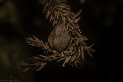 orb weaver (dustaway) Tags: arthropoda arachnida araneae araneomorphae araneidae araneinae orbweaver australianspiders crypsis camouflage spiderinretreat rainforest rprr rotarypark lismore northernrivers nsw nature australia rotary park reserve rotaryparkrainforestreserve