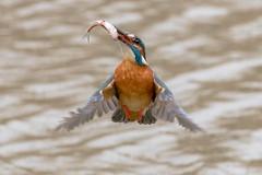 (Molnár László) Tags: alcedoatthis kingfisher