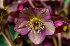 Hellebore (Martin Smith - Having the Time of my Life) Tags: hellebore flower flowermacro martinsmith ©martinsmith nikond750 nikon105mmf28vrg macro richmond bc bokeh