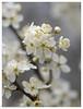 365#078 18-03-18 Snowy Blossom (Jacqui Dracup) Tags: 2018th03 cherry plum white