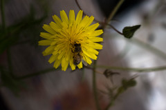 Bee (faster3ck) Tags: palermo italy sicilia insect flower nature outdoors flora environment invertebrate summer leaf garden bee biology blur wild closeup blooming daylight dandelion pollen macro yellow gardening instagarden instatravel travel traveling