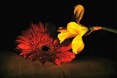 I will always love you (PentlandPirate of the North) Tags: romantic flowers sayingitwithflowers intimate love eternal daffodil gerbera ~flickrinnes flickrinnes