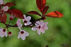 Prunera vermella.....Ciruelo rojo. (AviAntonio) Tags: flors fulles bokeh primavera flores hojas spring ty with nice background