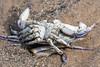 DSC_3313 (Adrian Royle) Tags: lincolnshire skegness gibraltarpointnnr nature wildlife marine beach shellfish crabs urchin lobster starfish nikon macro