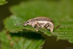 Attactagenus sp. ZMA01 (Jesús Tizón Taracido) Tags: insecta coleoptera polyphaga cucujiformia curculionoidea curculionidae entiminae cneorhinini attactagenus