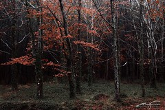 Red leaves (jorgeverdasca) Tags: landscape nature gothic goth red trees mountain misty mist forest woodland woods portugal sintra