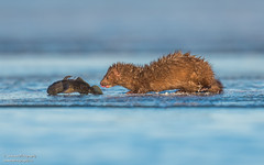 Mink with a fish. (salmoteb@rogers.com) Tags: animal wild outdoor toronto ontario canada wildlife ice fish mink