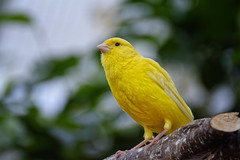 Mellow Yellow (Alfred Grupstra) Tags: bird animal nature wildlife beak yellow feather animalsinthewild perching closeup outdoors oneanimal animalwing beautyinnature greencolor parrot animaleye multicolored branch pets canary