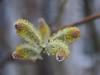 DSC07483 (Old Lenses New Camera) Tags: sony a7r wollensak enlargingproraptar plasmat plants garden pussywillow catkins tree branches macro