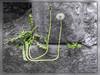 Das Leben geht oft seltsame Umwege (Dieter Meyer) Tags: badurach hohenurach badenwürttemberg deutschland germany 2004 dietermeyer löwenzahn dandelion burgruine grün colorspot