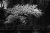 Cloud of blossoms - Nuvola di fiori (Stefano Avolio) Tags: hanami sakura ciliegi fioritura cherrytree blooming roma rome bw tree albero primavera spring blackwhite blackandwhite biancoenero bianconero monocromo stefanoavolio savolio parco blossom fiori flowers boccioli blossoms cloud nuvola