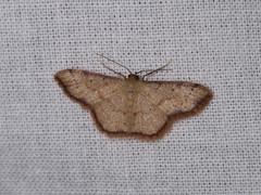 Idaea craspedota (dhobern) Tags: 2018 china lepidoptera march xtbg xishuangbanna yunnan geometridae sterrhinae idaeacraspedota