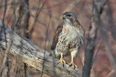 Ryðvákur-Red tailed Hawk-Buteo jamaicensis (sigmundurasgeirsson) Tags: ryðvákur redtailedhawk buteojamaicensis
