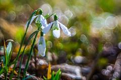 Snowdrop/Śnieżyczka przebiśnieg (Galanthus nivalis L.) (mirosławkról) Tags: silesia poland flowers forest bokeh bubbles white green grass snowdrop pentaconav8028