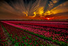 Tulip Season (BeNowMeHere) Tags: ifttt 500px tulips amsterdam benowmehere colours flawlesslife flowers landscape life nature netherlands sky sun sunset amazing birds clouds colorful colors colourful flawless travel trip tulipfields field countryside rural farm farmland stubble scene