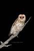 Australian Masked Owl. (JimsWalks) Tags: autumn eastgippsland endangered fauna forestowl maskedowl nightime nocturnal owl owling spotlighting threatenedspecies treehollows tyto tytonovaehollandiae tytonidae wild wildlife