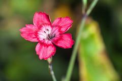 Pink Beauty - _TNY_1871 (Calle Söderberg) Tags: macro canon canon5dmkii canonef100mmf28usmmacro canoneos5dmarkii flash meike mk300 glassdiffusor raynox dcr250 flower backnejlika maidenpink dianthus deltoides pink nejlika ängsnejlika caryophyllaceae caryophyllales f19 5d2