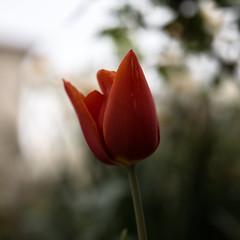 Pars (CaroDiario) Tags: fleur flower tulipe tulip shallowdepthoffield courteprofondeurdechamp printemps spring photoderue streetphotography panasonicdcgh5 zhongyimitakonspeedmaster25mmf095