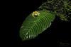 Glass Frog (Megan Lorenz) Tags: reticulatedglassfrog glassfrog frog amphibian macro rainforest nature wildlife wild wildanimals travel costarica mlorenz meganlorenz