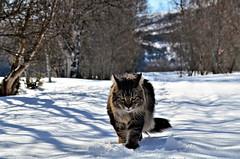 målbevist...... (KvikneFoto) Tags: katt cat snø snow winter vinter tamron nikon bokeh elvis