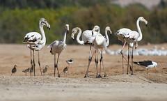 Greater Flamingos (Wild Chroma) Tags: philomachus pugnax philomachuspugnax birds nonpasserines jordan phoenicopterus roseus phoenicopterusroseus flamingo ruff aqaba bird observatory aqababirdobservatory