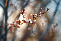 Spring is here (Pásztor András) Tags: nature spring flower bud warm white blue red bush forest sunset sun light sigma 105mm f28 dslr full frame nikon d700 andras pasztor photography 2018 hungary