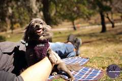 15~52 weeks of Blue - Happy (sgv cats and dogs) Tags: 52weeksfordogs chihuahua happy smile central park nyc spring picnic cuddle blanket