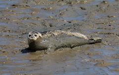 IMG_5843 cr (janharper) Tags: seals crouch roach estuaries leigh camera club