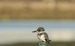 _J3A6091 7D Mark ll Tamron 150-600mm G2 Belted Kingfisher (greaves_russell) Tags: bigmorongocanyonpreserve boxcanyonrd nature animals fitness travel sprint overstock people music flickr dancingwiththestars games oops bing foxnews espn cars target bestbut bolsachicawetlands wildlife jobs locations typesofclothing professions days hours minutes dog cat fish bird cow moon world earth forest sky plant wind flower amazon ocean river mountain rain snow tree sanjoaquin anzaborrego huntingtonbeach disneyland knottsberryfarm sandiego forsterstern landscapewhitewater civilwarreenactment