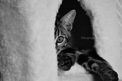 B&W 66/365 (lucyrogersphotography) Tags: bengals leothebengal bengal cat kitten bengalkitten bengalcat pedigree pedigreecat lucyrogersphotos blackandwhite pet littleleo