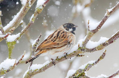 Reed Bunting (m) (badger2028) Tags: reed bunting snow branch