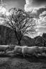 Frantic Sheep (evans.photo) Tags: sheep animals tree landscape movement blackandwhite wales ceredigion