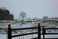 Nature knows best (JulieK (thanks for 7 million views)) Tags: snow rooks birds topazglow 2018onephotoeachday canoneos100d fence tree winter bird fauna sliderssunday