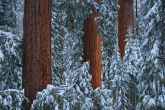 Giants Within (Willie Huang Photo) Tags: sequoia redwoods trees giants snow winter red green sequoianationalpark kingscanyon nationalpark landscape scenic nature