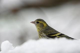 Siskin in the snow...