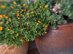 Still Life with Pots (Anne Worner) Tags: anneworner em5 lensbaby bend blur composerpro flowerpots flowers lantana olympus plants stilllife sweet35 terracottapots shrubverbenas shrub flowering blossom bloom yellow pottery manualfocus manualfocuslens selectivefocus