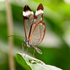 glass wings (douglasjarvis995) Tags: butterfly glass winged bug insect fly leaf plant macro close closeup nature pentax