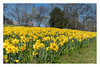 Spring in Nashville (Bob C Images) Tags: flowers daffodils buttercups garden botanical cheekwood spring yellow nashville tennessee blooms buds