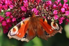 Tagpfauenauge (Aglais io) (Hugo von Schreck) Tags: hugovonschreck schmetterling falter macro makro insect insekt butterfly tagpfauenaugeaglaisio canoneos5dsr tamron28300mmf3563divcpzda010
