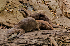 Otters (Theresa Hall (teniche)) Tags: 100400mmlens 2018 600mllens australia canberra canon canon6d canon6dmk2 canoncollective march2018 nationalzooandaquarium teniche theresahall animals canon6dmarkii creatures cute enclosed enclosure preciouscreatures zoo