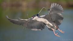 Black-crowned Night Heron (Nycticorax nycticorax) (ER Post) Tags: bird blackcrownednightheronnycticoraxnycticorax florida2018 heron trips venice florida unitedstates us
