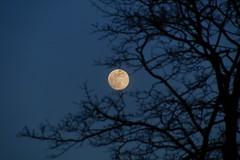 The moon were up (Steenjep) Tags: sunset solnedgang sol himmel sun sky cloudy sø fuglsangsø fuglsang herning tjørring måne moon træ